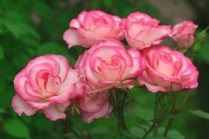月季花的养殖方法和注意事项