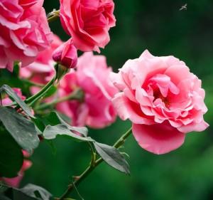 月季花的养殖方法