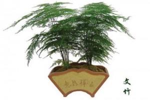 文竹是室内还是室外养殖图片