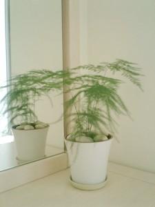 文竹适合室内养殖吗图片