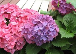 绣球花的养殖方法和注意事项