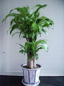 巴西木的养殖方法