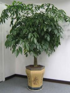 幸福树的养殖方法