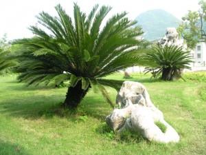 铁树的养殖方法