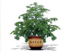 红豆杉怎么养殖图片