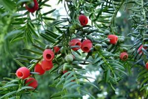 红豆杉怎么养殖方法图片