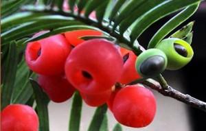 红豆杉怎么养护图片