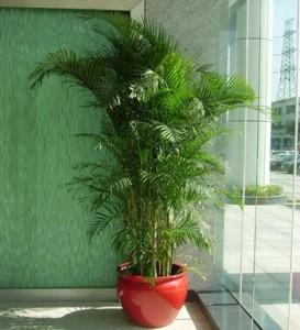 凤尾竹的养殖方法