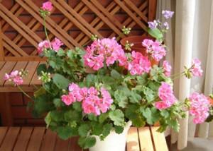 天竺葵的养殖方法和注意事项图片