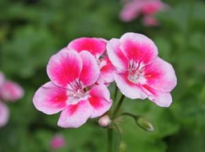 天竺葵的养殖方法和注意事项 养殖日记图片
