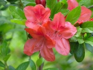 盆栽杜鹃花怎么养殖图片